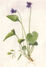 Humility and the violet.  An illustration of a Violet flower.